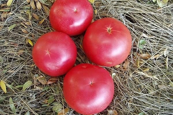 Томат шаста: описание сорта, выращивание и уход за растением с фото