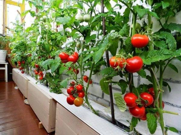 Выращивание огурцов на балконе в пластиковых бутылках