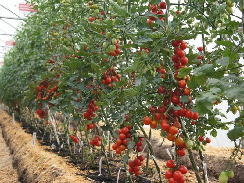 Лучшие сорта помидоров для выращивания в теплице (поликарбонатной или пленочной): обзор самых хороших томатов