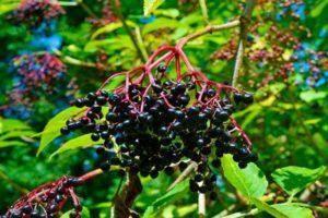 Хранение лесной и садовой земляники