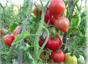 Описание, характеристики и выращивание томата батяня