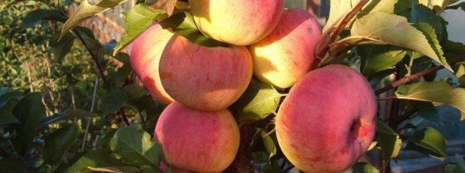 Описание и характеристики стелющейся яблони, особенности посадки и ухода