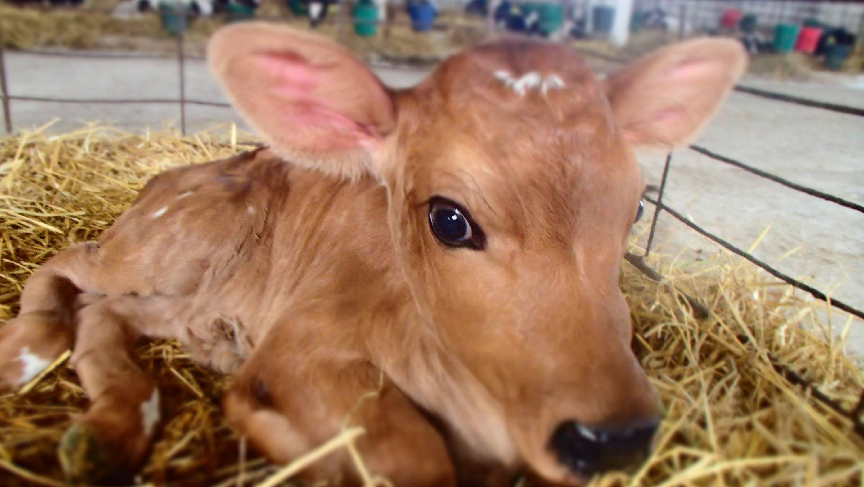 Что нужно делать, если корова переела?