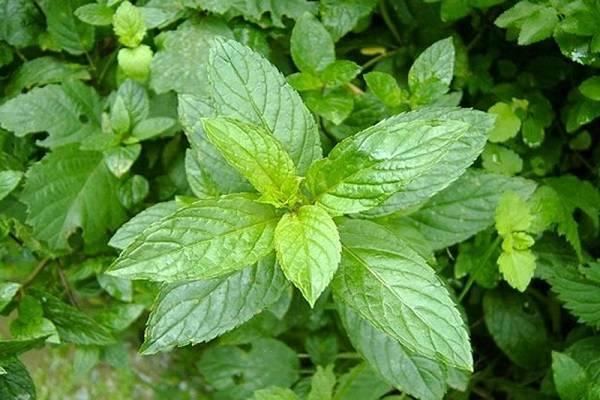 Тимьян ползучий: описание сорта, выращивание из семян в открытый грунт