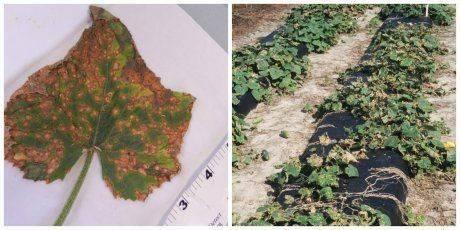 Ржавчина на листьях огурцов: причины, методы лечения