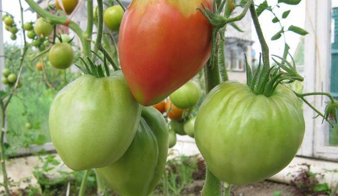Томат мазарини: особенности сорта и 5 правил агротехники
