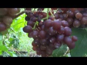 Выращивание винограда сенатор (павловского) — характеристики лозы