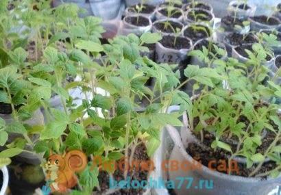 Сажаем помидоры в улитку по методу юлии миняевой. посадка семян в улитку с туалетной бумагой. видео юлия минаева посадка перца в пеленки от юлии