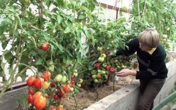Особенности формирования помидоров