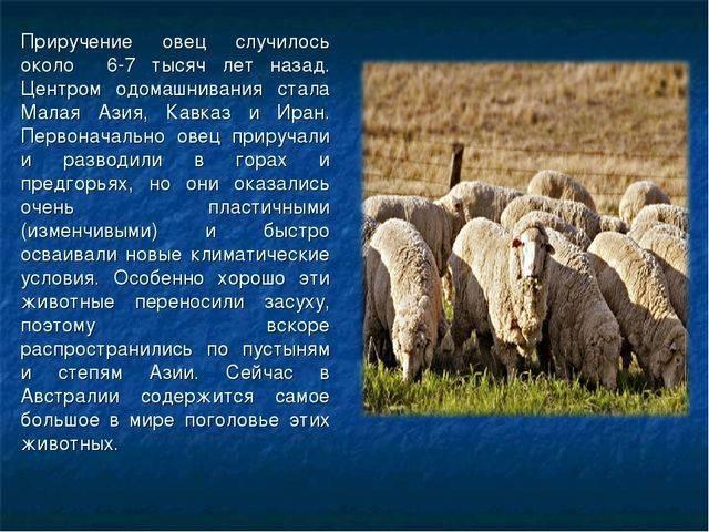 Какая самая распространенная порода овец в австралии?