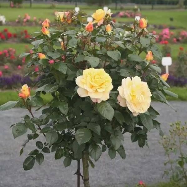 Описание и тонкости выращивания роз сорта Циркус