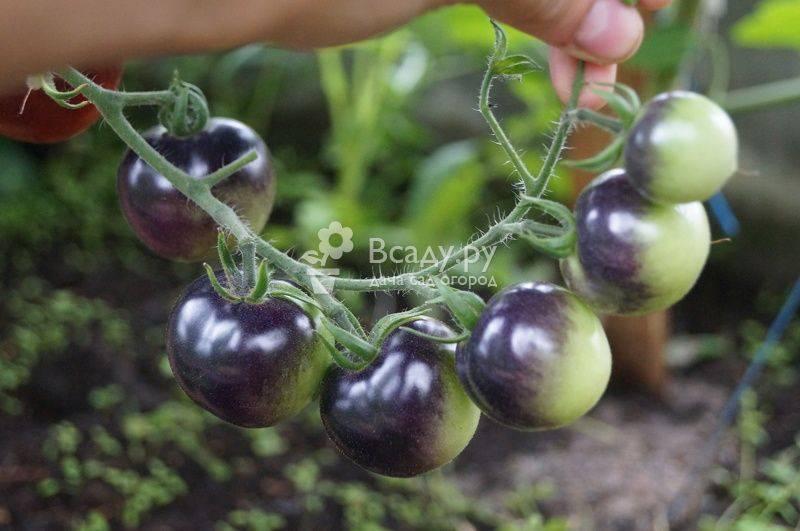 Обработка помидор от фитофторы в теплице: самые эффективные средства!