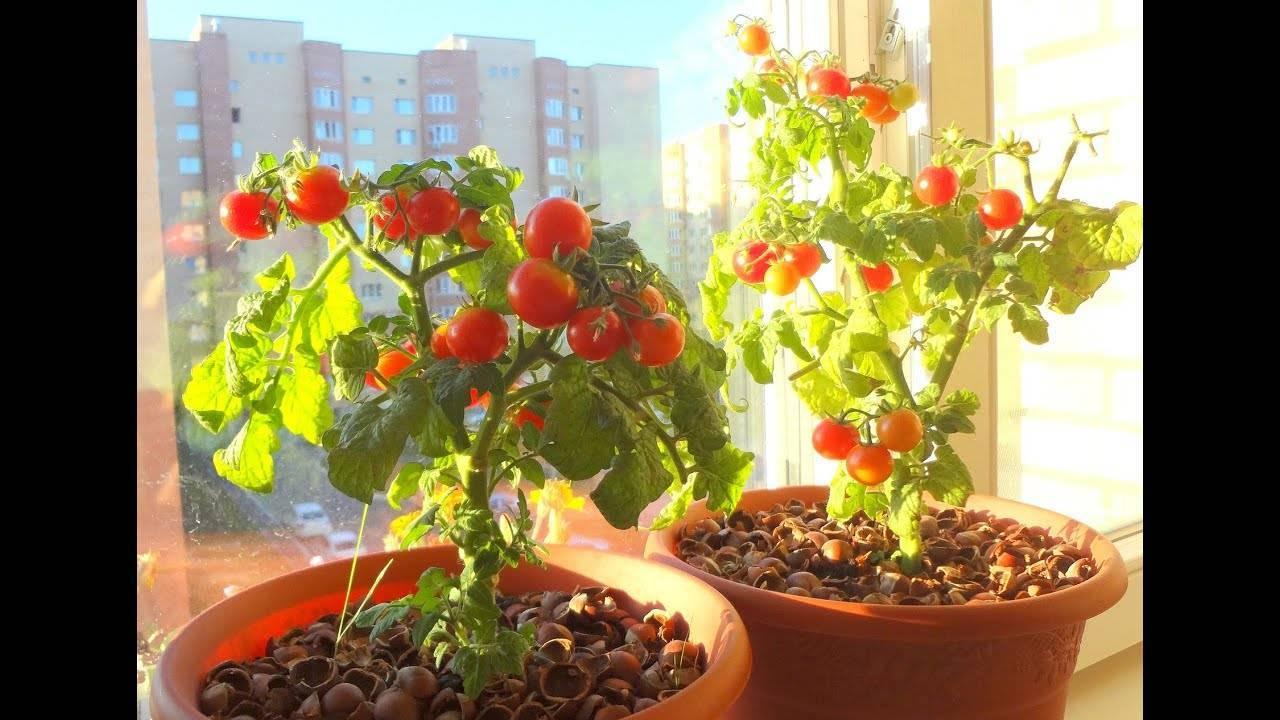 Описание сорта томата Летний сидр, выращивание и уход