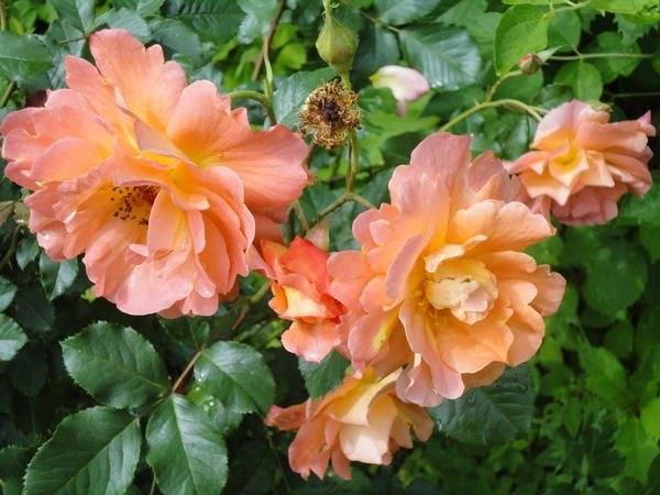 Роза осирия (osiria) — описание сорта из германии