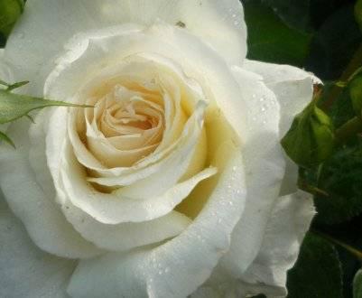 Мускусные розы: описание, посадка и уход