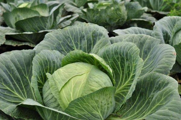 Чем подкормить капусту для завязывания кочана? применение народных методов для подкормки