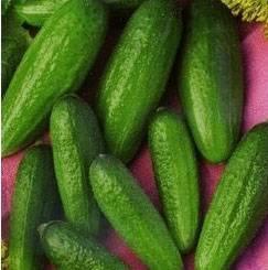Огурец клодин: характеристика и описание сорта, выращивание и уход с фото