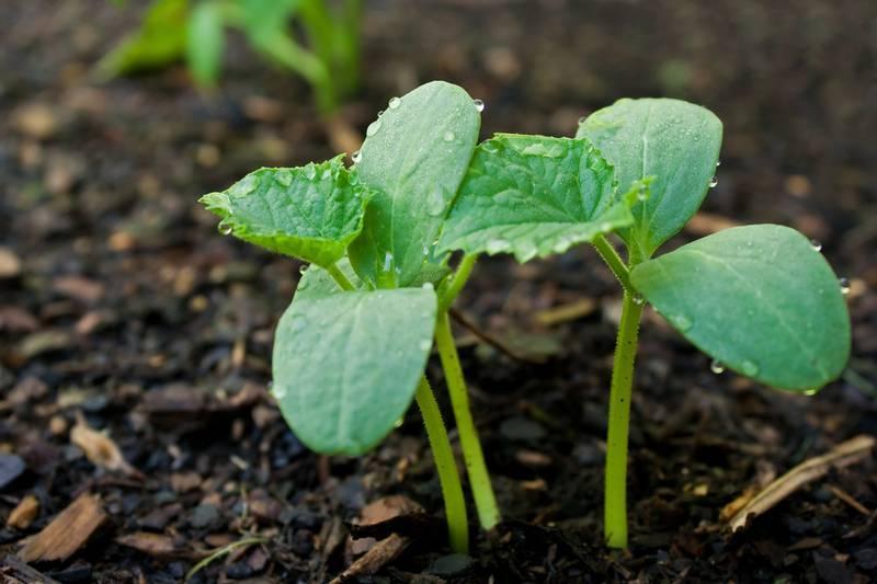 Когда лучше сажать семена огурцов в открытый грунт — сроки, схема и глубина посадки