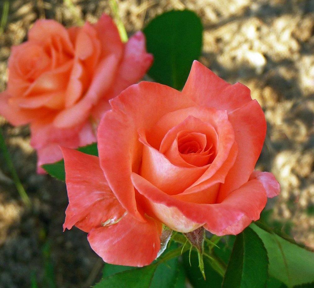 Описание великолепной розы сорта аква