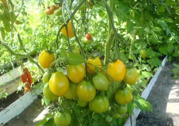 Сорт томата чудо земли
