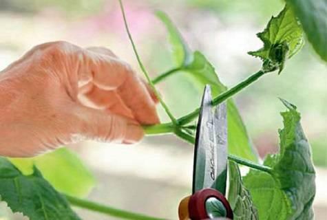 Как правильно пасынковать огурцы в теплице и открытом грунте: способы формировки огуречных кустов — инструкции для начинающих