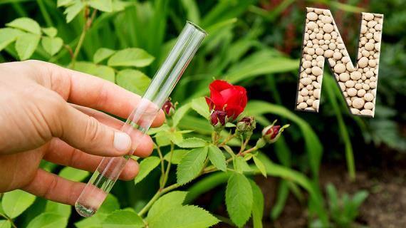 Гладиолусы – правильные подкормки для пышного цветения