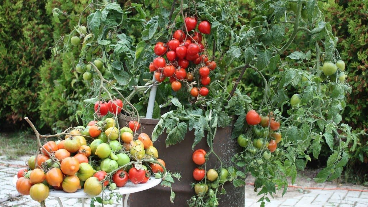 Как правильно выращивать помидоры в бочке