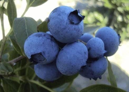Голубика денис блю