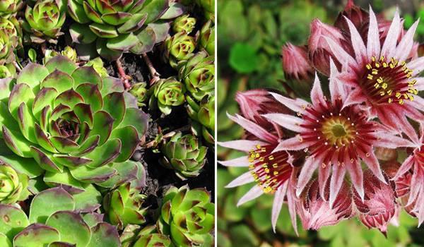 Виды цветка молодило: кровельное, паутинистое, русское