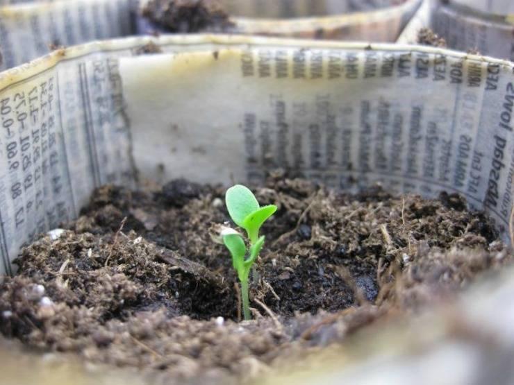 Как подготовить семена томатов к посеву