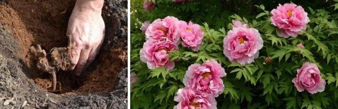 Роскошные пионы: посадка и уход в открытом грунте, нюансы выращивания пышных кустов с насыщенной зеленью и крупными махровыми бутонами