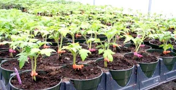 Рецепты приготовления и инструкция по применению подкормки рассады томатов и перца дрожжами