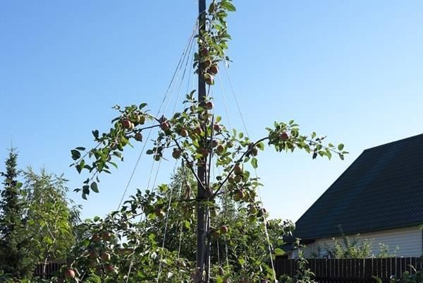 Гордость уральского сада — яблони анис свердловский