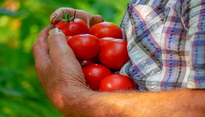 Когда садить томаты в сибири