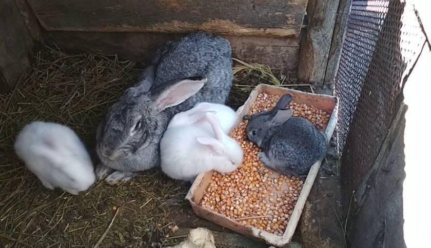 Кормить кроликов конопля курения марихуана симптомы