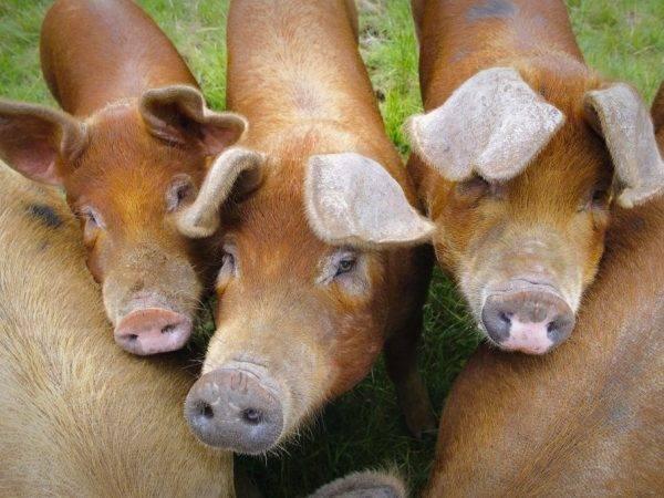 Что нужно знать о свиньях породы дюрок, чтобы получать максимальную выгоду от их содержания и разведения?