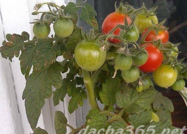 Выращивания огурцов на балконе квартиры: огурцы «балконное чудо f1»