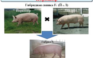 Содержание породы свиней дюрок: плюсы и минусы