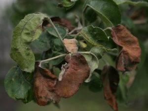 Листья на яблоне коричневеют и засыхают — как бороться?
