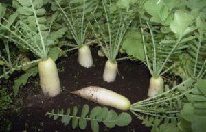 Выращивание дайкона – так ли это сложно?