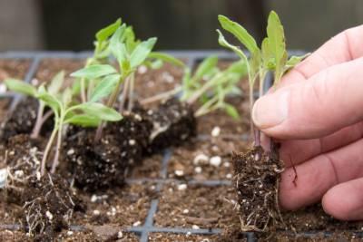 Корневин сп для роста корней: его применение и инструкция?
