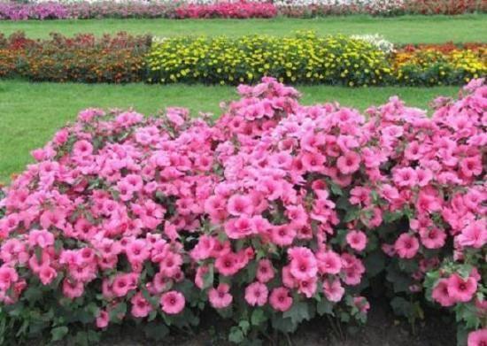 Лаватера хатьма (lavatera): сорта и выращивание