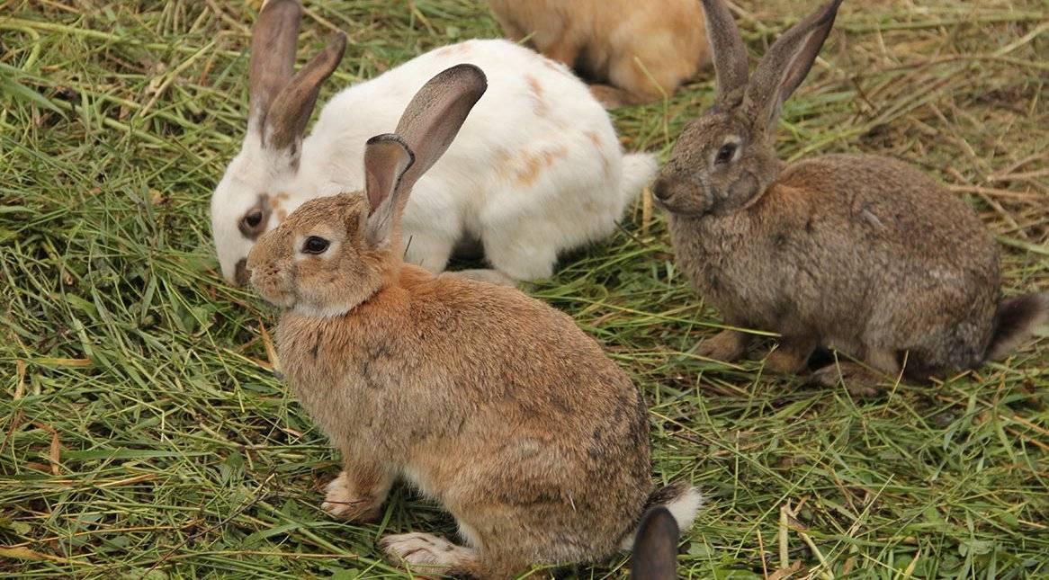 Чем отличается кролик от зайца: сходство и разница. чем отличается дикий кролик от зайца: основные признаки чем отличаются зайцы от кроликов детская энциклопедия