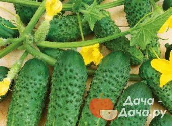 Огурец кибрия f1: описание особенностей и 12 советов по выращиванию и уходу