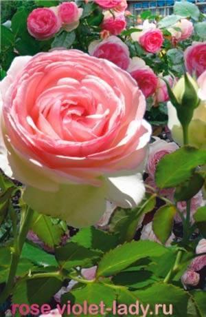 Описание и характеристики роз сорта Пьер де Ронсар, посадка и уход