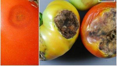 Серая гниль на помидорах в теплице, что делать? (кагатная гниль)