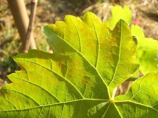 Белый налет на ягодах и листьях винограда