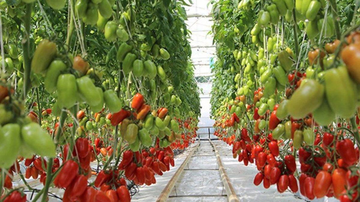 Аппетитные томаты необычного цвета чёрная гроздь: описание сорта, характеристики, фото