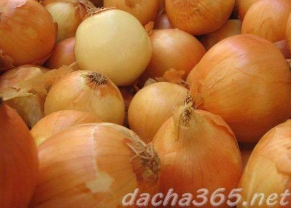 Лук халцедон: выращивание из семян, описание сорта, отзывы, фото, посадка и уход, достоинства и недостатки