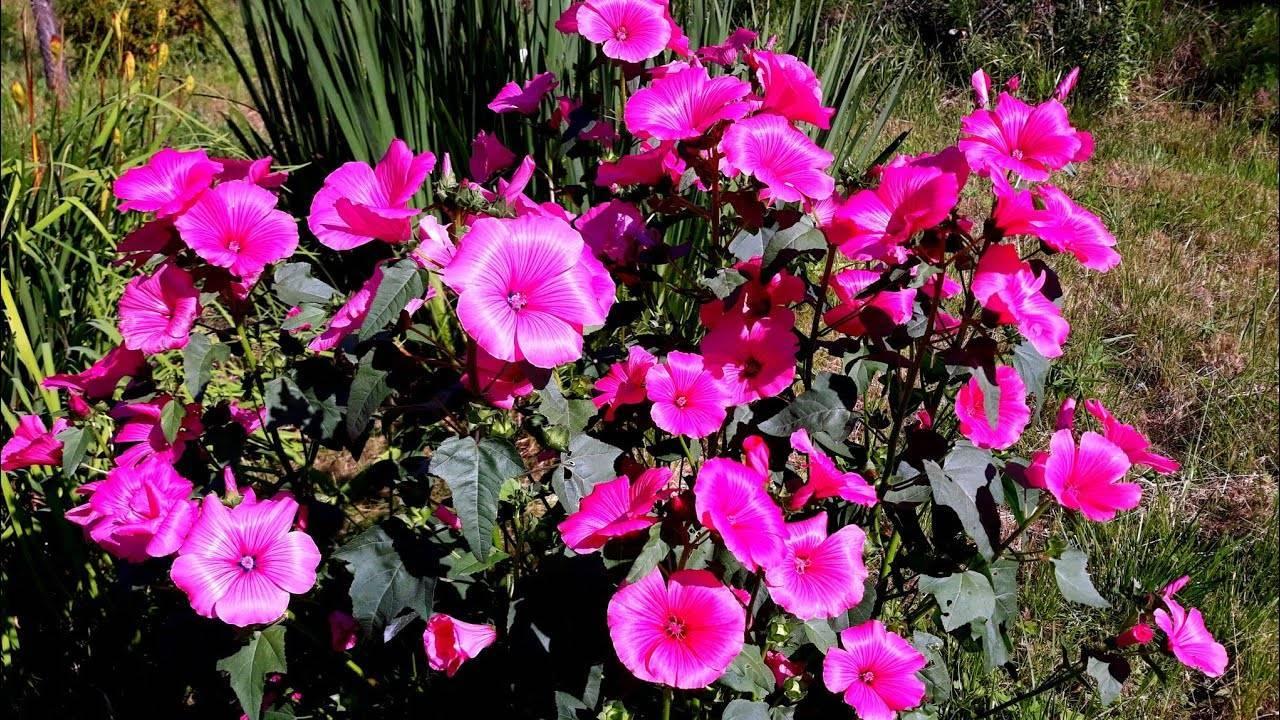 Когда сажать семена лаватеры, чтобы она зацвела ранним летом?